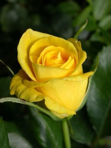 17 best images about yellow roses on pinterest friendship dads and mom - Flowers that mean friendship ...