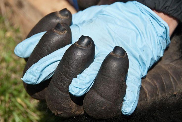 A Doctor Gorilla segura a mão de um gorila da montanha de adultos como parte da Vila de projeto Esperança em Ruanda