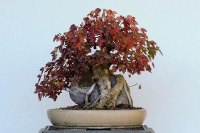 Repotting a trident maple #bonsai
