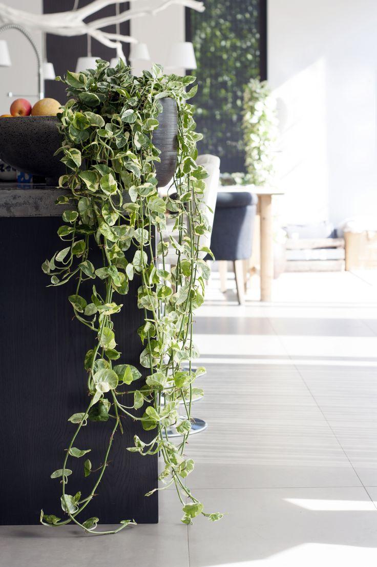 Die Efeutute als lässige Hängepflanze  #efeutute #zimmerpflanzen #pflanzen #indoor #kitchen #Epipremnum #pflanzenfreude