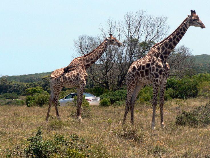 Giraffe Seaview Lion Park