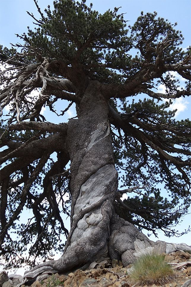 Researchers studying a remote section of the Pindos mountains in northern Greece have discovered a grove of ancient trees untouched for more than 1,000 years. The dozen millennium-old trees, all Bosnian pines, include one specimen that first set down roots at least 1,075 years ago.