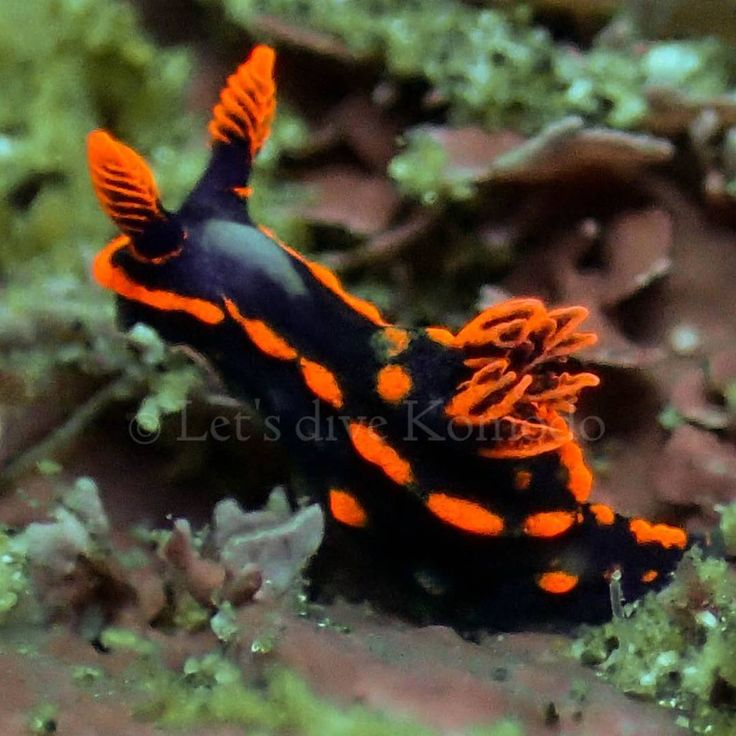 Nudibranch - just love them #komodo #labuanbajo #nudibranch #colors #beauty #favorite #macro #scuba #livetoscuba #divecenter #scubadiving #lovemyjob #uwphotography #olympus #macro_captures #travel #holiday #wanderlust #explore #ocean #reef #coral #instapic #instadive #oceanlove #marinelife #instadaily #exploremore #nofilter