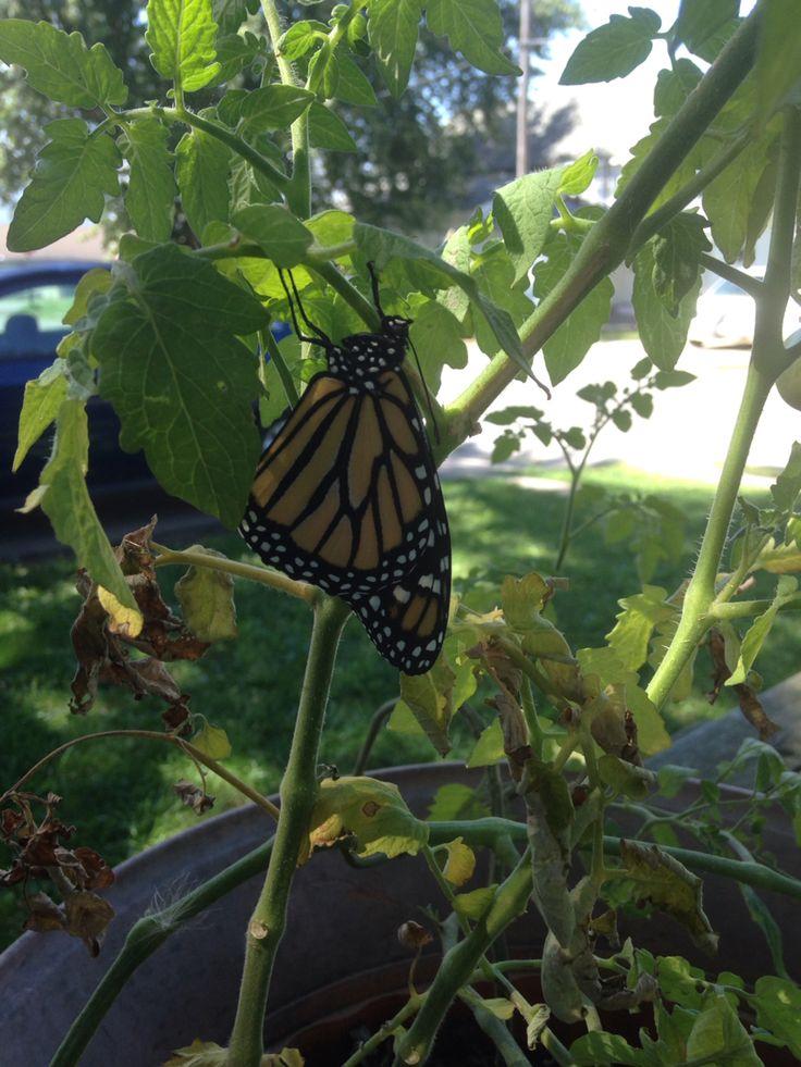 Female monarch butterfly....