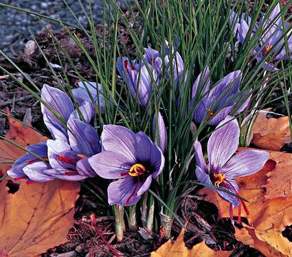 Grow your own saffron to use in cooking! Showy fall-blooming Crocus is the source of saffron, the quintessential seasoning for paella and other dishes from the Mediterranean and Asia. Each lilac-purple flower produces three showy red stigmas, which have been used for flavoring and coloring food since Roman times.