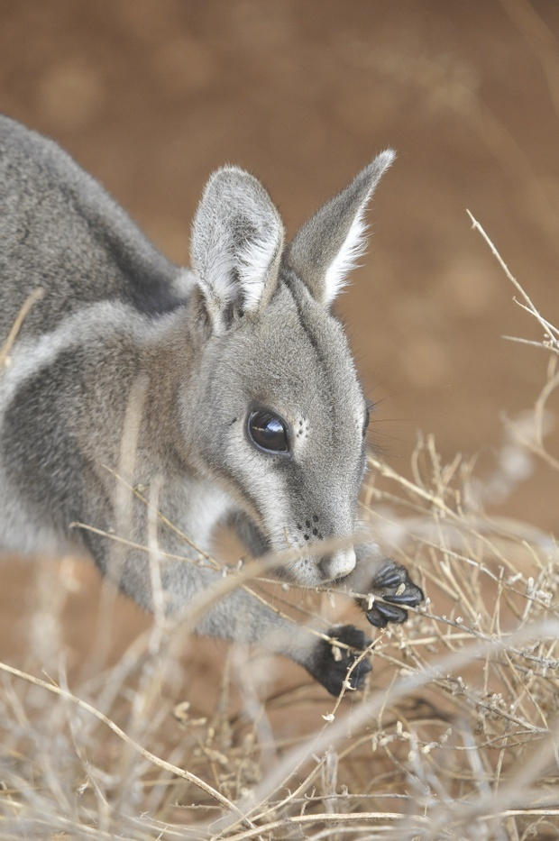 A Feral Cat Ate My Bilbies: Australia has the world's worst mammal extinction rate (and, er, no idea how to fix it).