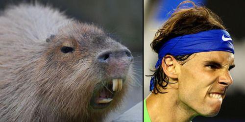 snarling capybara