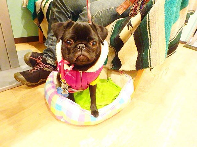 ディナータイムにお越しくださいましたバボちゃん♡マナーも完璧な8ヶ月ちゃんでした♡ご来店くださりありがとうございます‼︎ . 本日の日替わりランチは #アジフライ定食 #ロースカツ定食  なんだか定食推しです 笑 . みなさまもアロハナいちにちを♡ . #dog #dogcafe  #dogstagram #pet #food #petcafe #ALOHANA #cafe #bar #tokyo #hawaii #ドッグカフェ #ペットカフェ #ペット #練馬 #東京 #愛犬 #お散歩 #お出かけ #元保護犬 #看板犬 #アロハナ #犬連れ #ランチ #お酒 #西海岸インテリア