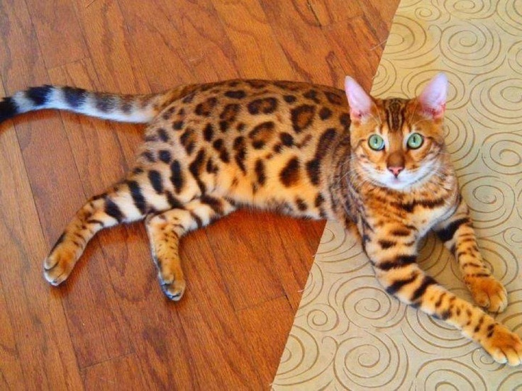 Beautiful cat Petit félin, Photo chat, Chats et chatons
