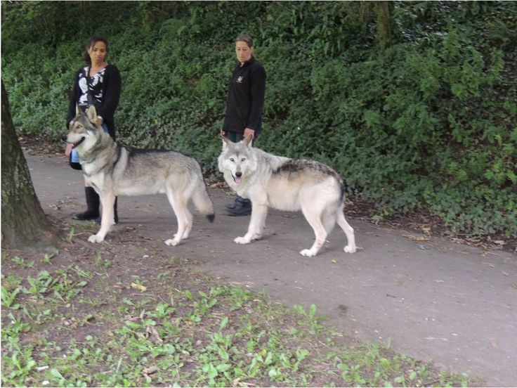 wolf hybrids and wolfdogs in the A virginia family's 3-year-old wolf-hybrid dog has been put down after it attacked  and killed their newborn infant, the sheriff there says.