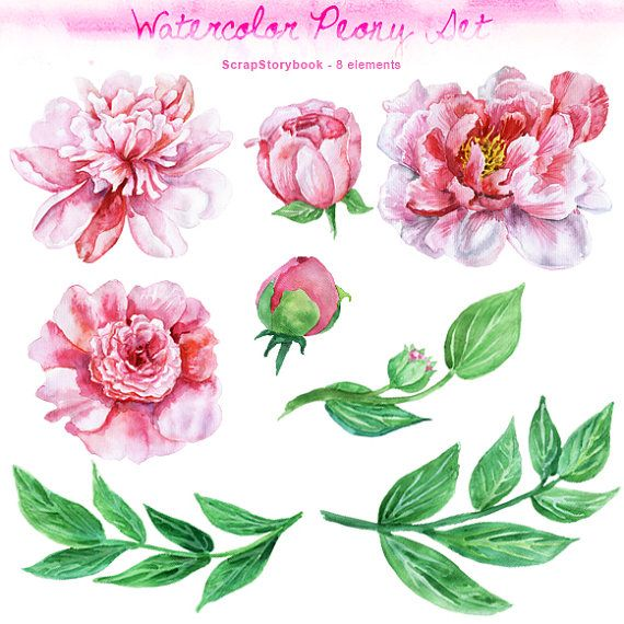 Watercolor Peony Set - digital printable clipart  - 300 dpi PNG, transparent background