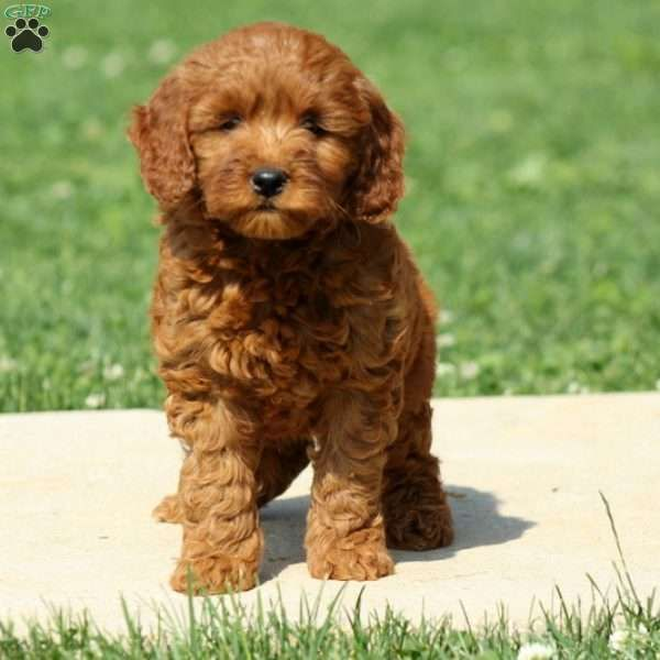 Duddley F1b Mini Goldendoodle Puppy For Sale In Pennsylvania Goldendoodle Puppy For Sale Mini Goldendoodle Puppies Mini Goldendoodle