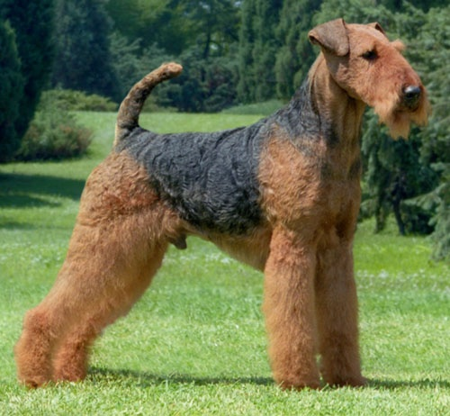 388 best images about airedale terrier on Pinterest  Airedale terrier, Soldiers and A lady