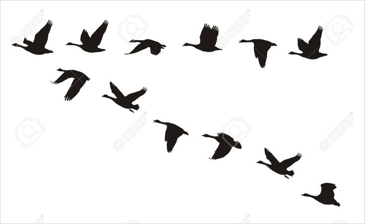 26373891-silhouettes-of-flock-of-flying-canadian-geese-tattoo-birds-flying.jpg (1300×800)