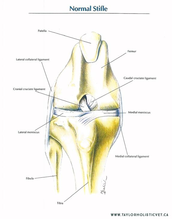 The ACL is also called the Cranial Cruciate Ligament (CCL).  A tear or rupture of the ACL/CCL is the number one orthopedic issue in dogs.  Surgical repair of torn ACLs is a multi-billion dollar industry in veterinary practices in North America.  30% of do