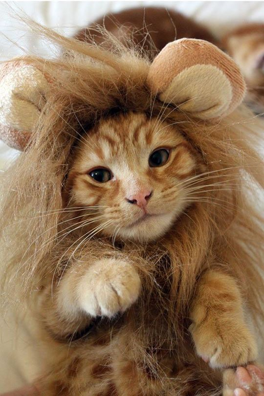 LION! Adorable! This Kitty dressed up as a lion, is totally cute. Makes cool for dress-up or Halloween, on ur FAVE tabby.