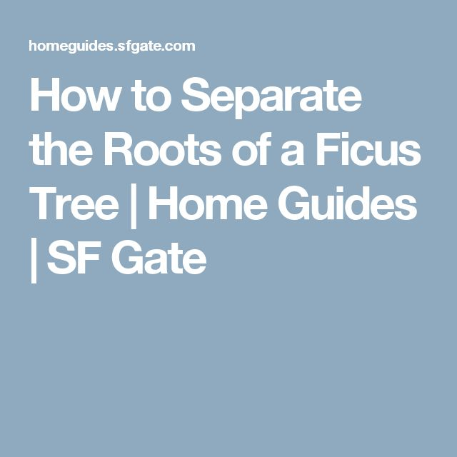 How to Separate the Roots of a Ficus Tree | Home Guides | SF Gate