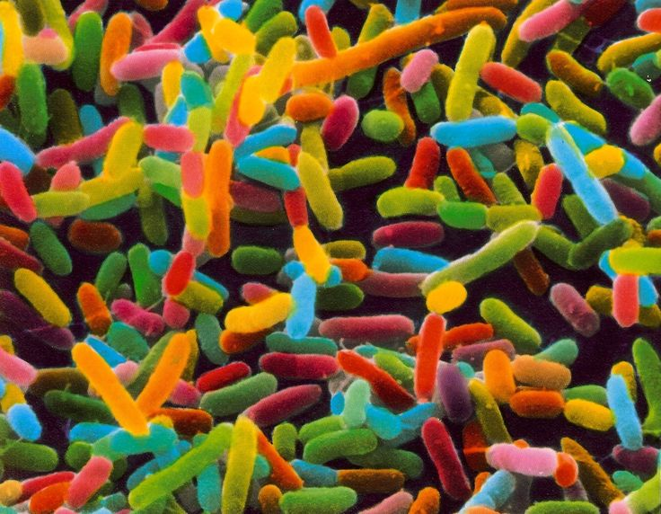 E. coli bacteria. Escherichia coli are rod shaped gram negative bacteria. Image from a scanning electron microscope. x9400 magnification. Looks like sour neon gummy worms!