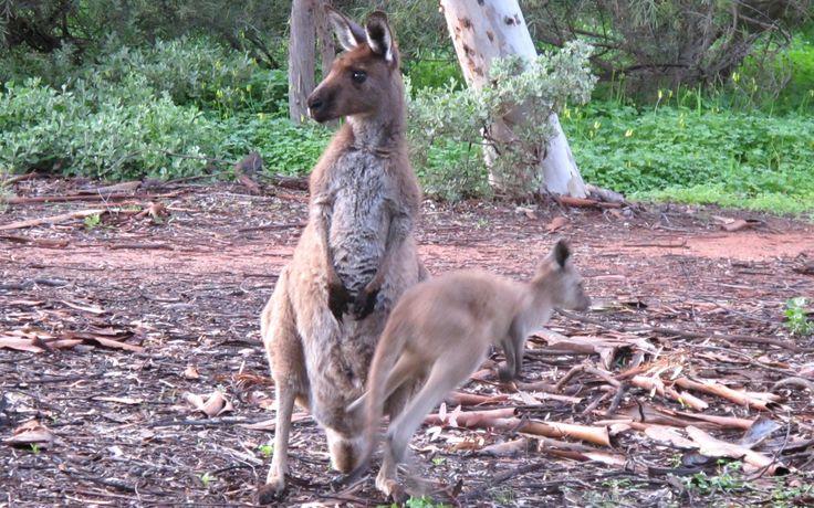 Kangaroo and joey, Wilpena, Flinders Ranges, South Australia.