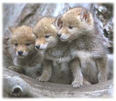 76 best wolves images on pinterest wild animals fox and cutest animals. Black Bedroom Furniture Sets. Home Design Ideas