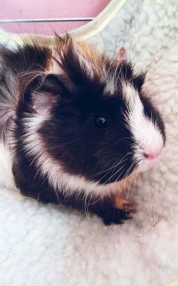 Lovely Orna piggy (quinea pig)