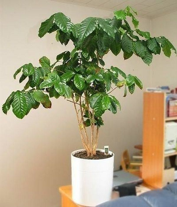 25 Best Ideas About Coffee Plant On Pinterest Organic Gardening Tips Patio Gardens And
