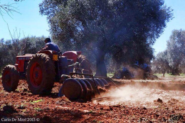 """#salentowebtv #difendiamoiulivi  Da #Squinzano a #Leuca, gli agricoltori salgono sui trattori per dare il via al """"buone pratiche Day"""". In ogni comune della provincia di #Lecce, grazie all'iniziativa messa in campo da Aprol,Comitato Voce dell'Ulivo, e dal consorzio tutela DOP Terra D'Otranto e Legambiente, gli agricoltori sprovvisti di mezzi li hanno ricevuto in prestito da altri colleghi in modo che ogni terreno sia arato,come previsto dal piano per l'emergenza xylella."""