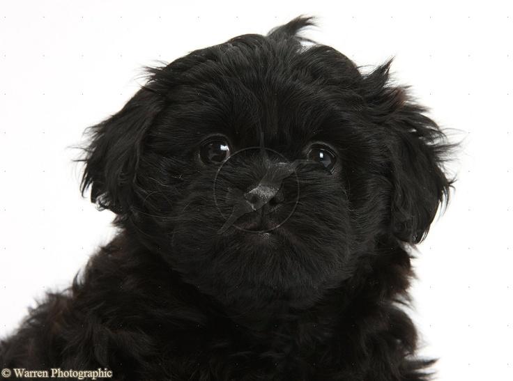 Black Peekapoo Pup 7 Weeks Old This Is What Midnight