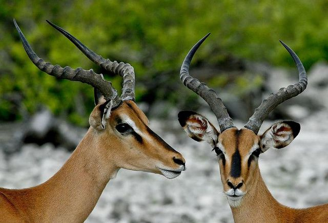image skeleton bongo antelope - Google Search | Gazelle ...