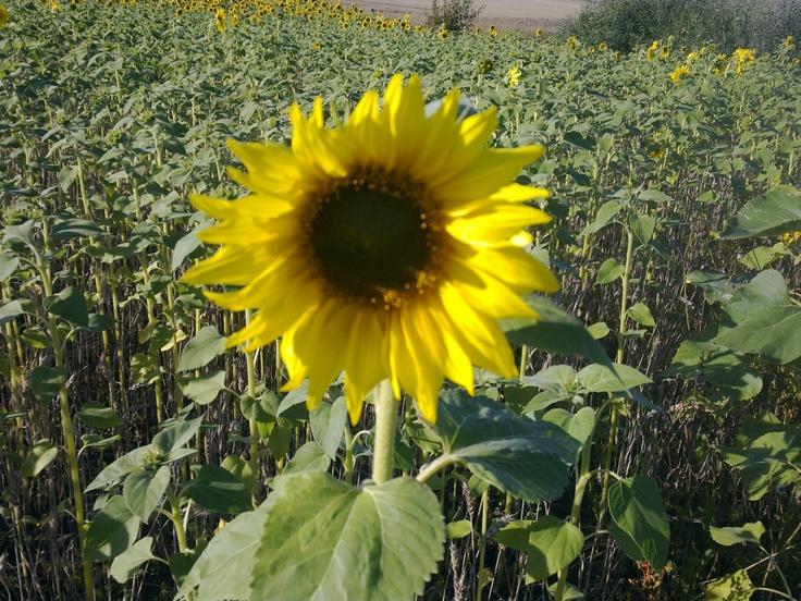 Sunflower at Kirkkonummi, Oitmäki, Westerkulla