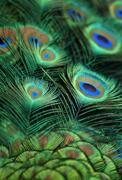 Shop For Peacock Feather Wallpapers In Nature Landscapes Theme Custom Printed To Fit