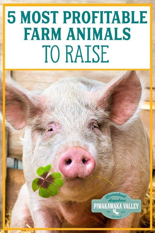 The 5 Best Farm Animals To Raise To Make A Profit Raising Farm