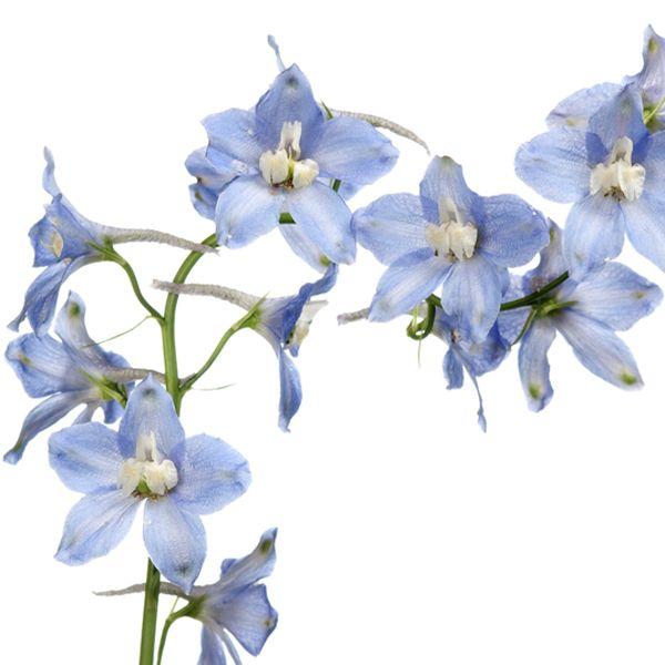 Delfinos – ou Delfínios – que, claro, não poderiam deixar de figurar em nosso quadro de hoje dedicado à Flor da Semana.O querido Sergio Oyama Junior, do Orq