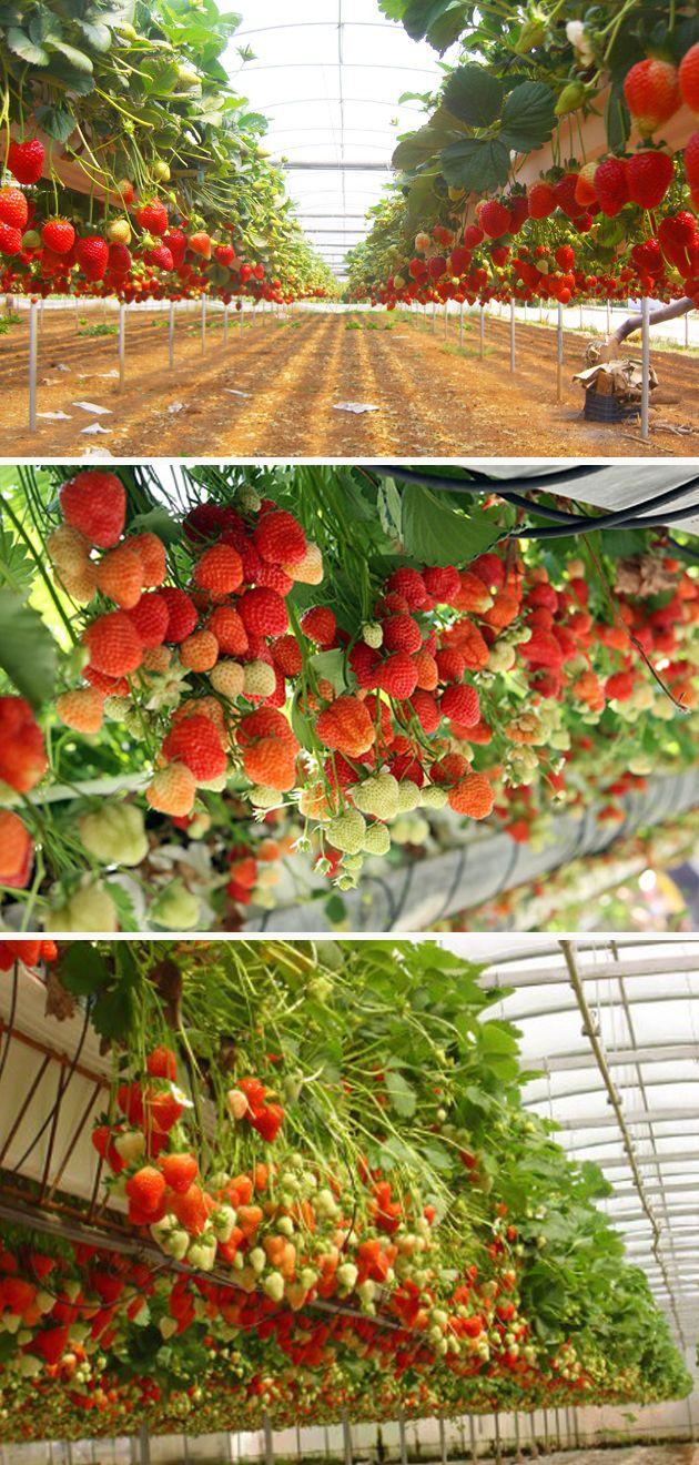 выращивать клубнику