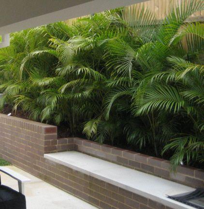 Chrysalidocarpus lucubensis, golden cane palm, to 6m, full sun