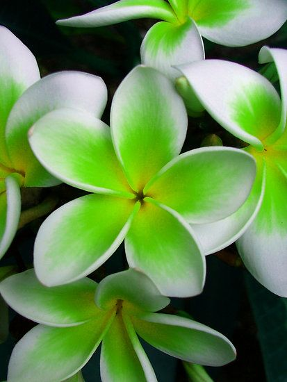 Frangipani by KellieBee native to Central America, Mexico, the Caribbean, and South America as far south as Brazil.