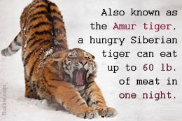 Tiger's Habitat: What do Tigers Eat?
