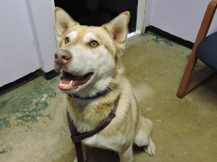 Olivier Dog • Husky Mix • Adult • Male • Large Pike County Dog Pound Waverly, OH