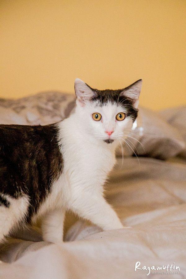 Milo Located In Docklands 50 Adoption Male Domestic Short Hair In Vic Neko Cat Cat Rescue Maneki Neko