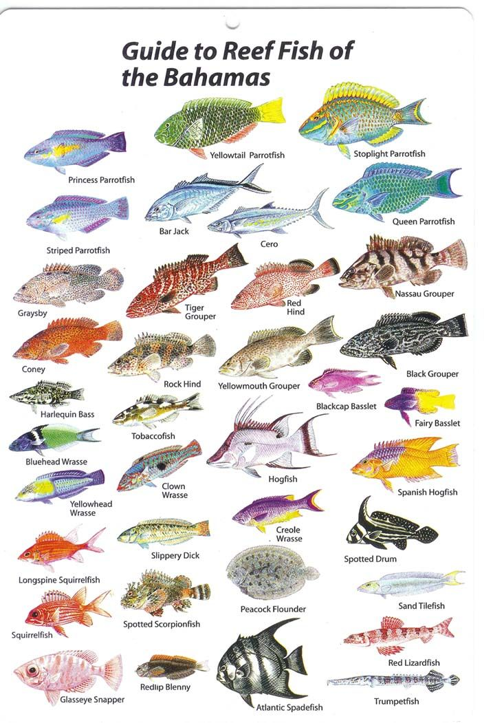 Reef fish of the bahamas several saltwater fish for Types of saltwater fish to eat