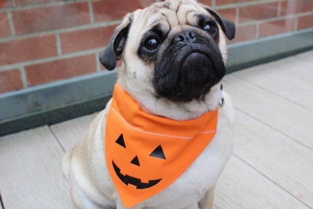 Halloween Dog Bandana, Halloween Dog Costume, Halloween Cat Bandana, Dog Bandana, Pumpkin Bandana, Dog Dress up, Dog Costume, Pumpkin Dog by BWPetwear on Etsy https://www.etsy.com/listing/250636270/halloween-dog-bandana-halloween-dog