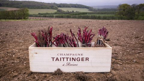 Taittinger Champagne officially plants its first Kent sparkling wine vines
