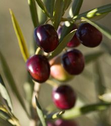 7 best images about growing citrus fruit trees on for Growing olive trees indoors