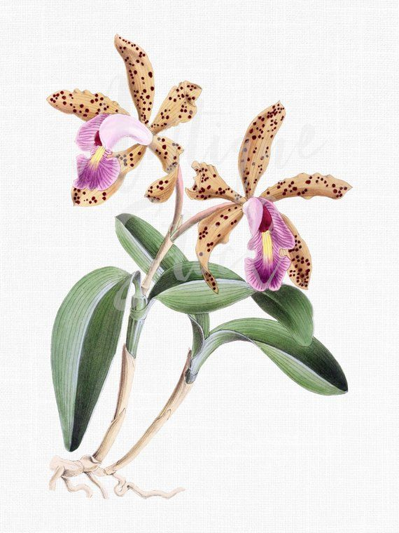 Botanical Illustration Flower Clip Art Digital Image Etsy Botanical Illustration Orchid Illustration Flower Drawing