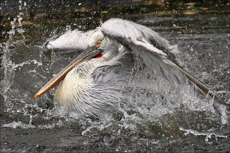 Splash of a Pelican