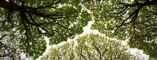 Oak tree canopy in Roudsea Wood, England