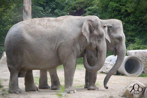 Anniversaire surprise des éléphants du Zoo d'Amiens les samedi 16 et dimanche 17 avril 2016 - Zoonaute.net