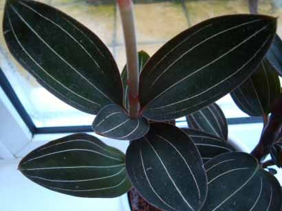 The Jewel Orchid has dark green leaves with white pin stripes.