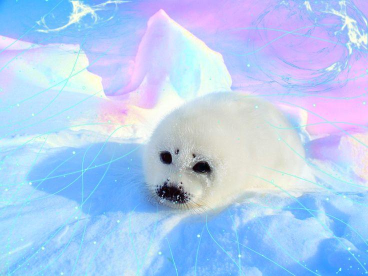 pics for gt cute baby seals wallpaper