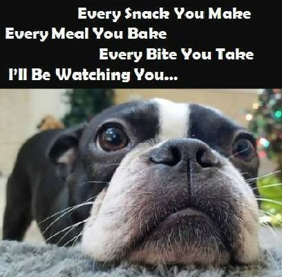 A Boston Terrier Dog is watching you!